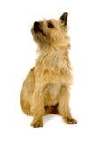 De Hond van de Terriër van de steenhoop. Stock Afbeeldingen