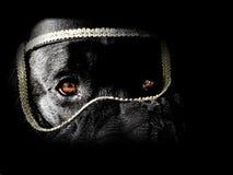 De hond van de tulband Stock Foto