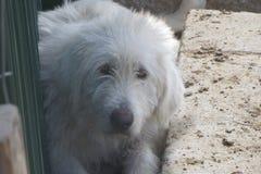 De hond van de veebeschermer Royalty-vrije Stock Afbeeldingen