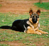 De hond van de wacht royalty-vrije stock foto's