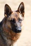 De hond van de wacht Royalty-vrije Stock Fotografie