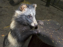 De Hond van de wasbeer (Nyctereutes procyonoides) Royalty-vrije Stock Foto's