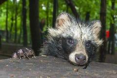 De Hond van de wasbeer (Nyctereutes procyonoides) Stock Foto's