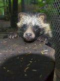 De Hond van de wasbeer (Nyctereutes procyonoides) Royalty-vrije Stock Fotografie