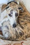 De hond van de whippet Stock Foto's