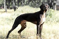 De hond van de wijzer status Stock Foto's