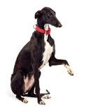 De hond van de windhond Stock Foto