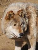 De hond van de wolf Royalty-vrije Stock Foto