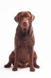 De hond van de zitting Royalty-vrije Stock Foto's