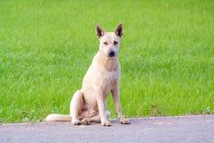 De hond van de zitting Royalty-vrije Stock Fotografie
