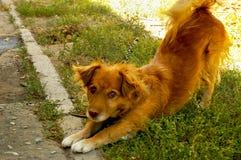 De hond van de zon Royalty-vrije Stock Afbeeldingen