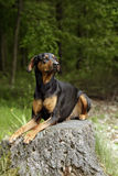 De hond van Doberman Stock Afbeeldingen