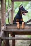 De hond van Doberman royalty-vrije stock fotografie