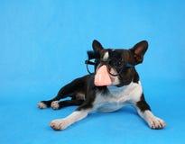 De hond van Groucho Royalty-vrije Stock Foto