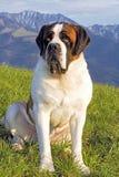 De hond van heilige bernard royalty-vrije stock foto