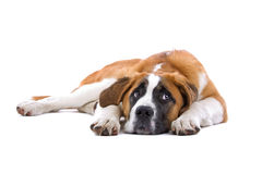 De hond van heilige Bernhard royalty-vrije stock afbeelding
