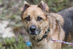 De hond van de herdersmengeling met kraag en hondsdolheids de markeringen van identiteitskaart royalty-vrije stock fotografie