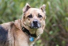 De hond van de herdersmengeling met kraag en hondsdolheids de markeringen van identiteitskaart stock foto's