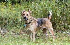 De hond van de herdersmengeling met leibandkraag en markeringen stock foto