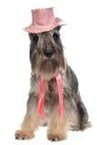 De hond van heren met hoed en band stock fotografie