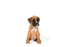 De hond van het bokserpuppy Royalty-vrije Stock Fotografie