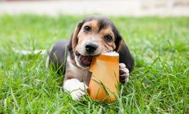 De hond van het brakpuppy kauwt document kop op gras Stock Afbeelding