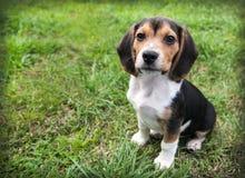 De hond van het brakpuppy op gras zit verblijf Stock Foto's