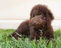 De hond van het chocolade labradoodle puppy legt op het gras Royalty-vrije Stock Foto