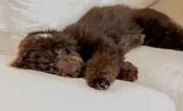 De hond van het chocolade labradoodle puppy legt vlakte op de laag Stock Fotografie