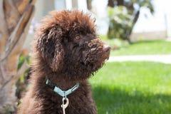 De hond van het chocolade labradoodle puppy zit op het gras kijkend aan zijn linkerzijde Stock Foto
