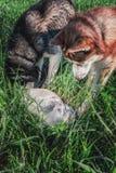 De hond van het conceptenconflict versus kat Twee Siberische huskies omringde kat en aanval Toont de katten boze sisklanken, hoek royalty-vrije stock fotografie