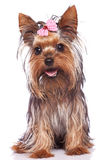 De hond van het de terriërpuppy van Yorkshire zitting en het hijgen Royalty-vrije Stock Afbeeldingen