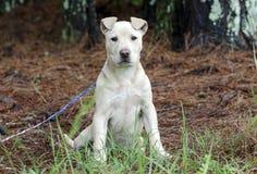 De hond van het Fawn pitbull puppy, de goedkeuringsfotografie van de huisdierenredding Stock Afbeeldingen