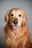 De hondportret van het golden retriever Stock Foto