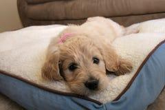 De Hond van het Goldendoodlepuppy royalty-vrije stock afbeelding