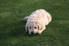 De Hond van het Goldendoodlepuppy op Gras stock afbeelding