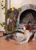 De hond van het kanon dichtbij aan jachtgeweer en trofeeën Royalty-vrije Stock Afbeelding