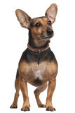 De hond van het mengen-ras, 5 jaar oud, status Royalty-vrije Stock Afbeelding