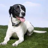 De Hond van het mengen-ras tussen een brak en Labrador stock foto's