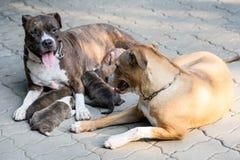 De hond van het Pitbullpuppy stock afbeelding