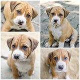 De hond van het Pitbullpuppy royalty-vrije stock afbeeldingen