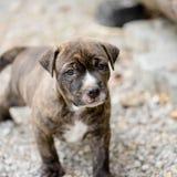 De hond van het Pitbullpuppy stock foto's