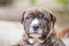 De hond van het Pitbullpuppy royalty-vrije stock afbeelding