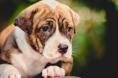 De hond van het Pitbullpuppy royalty-vrije stock foto
