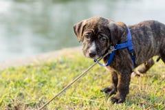 De hond van het Pitbullpuppy stock foto