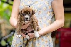 De hond van het Pitbullpuppy royalty-vrije stock fotografie