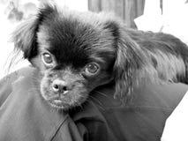 De Hond van het puppy Stock Afbeeldingen