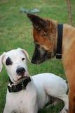 De hond van het puppy Stock Afbeelding