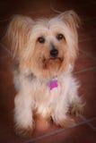 De Hond van het puppy Royalty-vrije Stock Foto