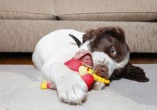 De hond van het puppy het bijten stuk speelgoed Royalty-vrije Stock Fotografie